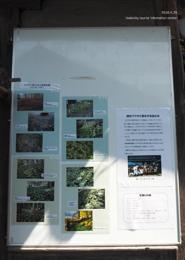田人町綱木地区のクマガイソウが開花しました! [平成30年4月29日(日)更新]7