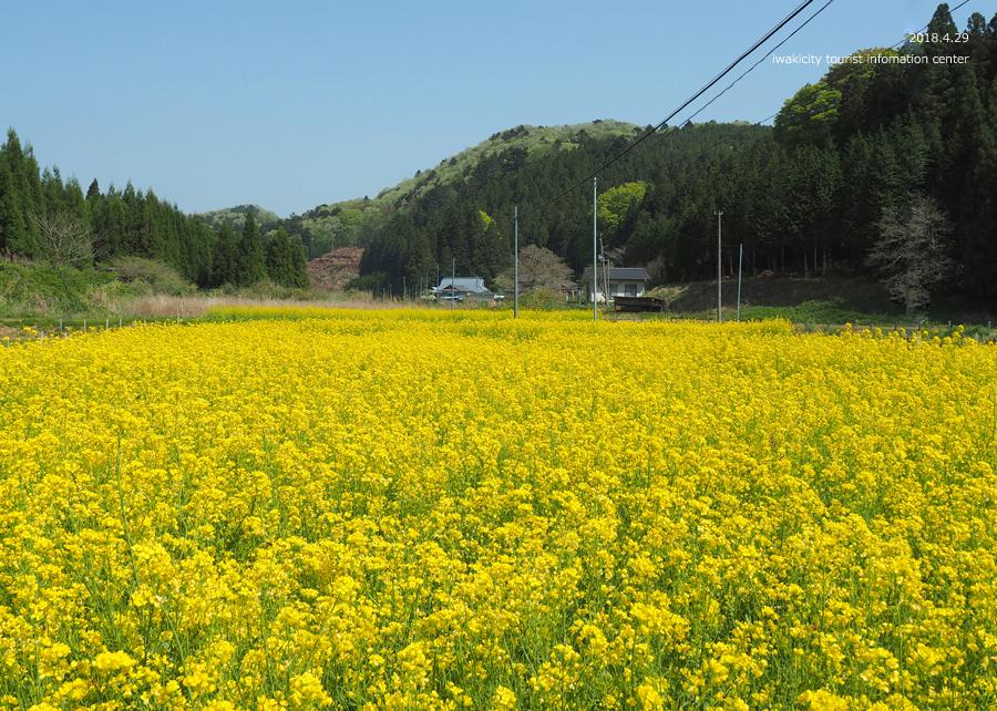 田人町綱木地区のクマガイソウが開花しました! [平成30年4月29日(日)更新]22