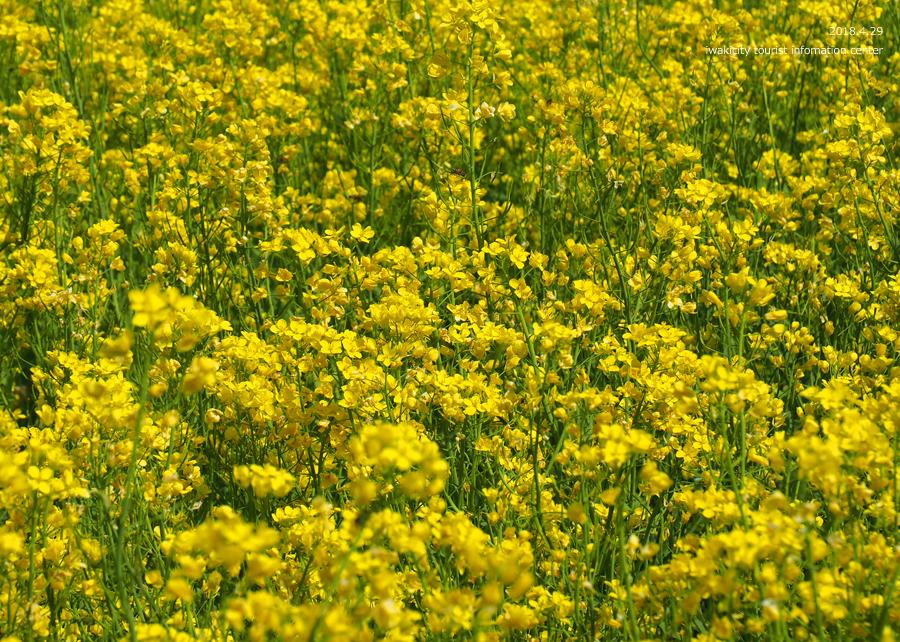 田人町綱木地区のクマガイソウが開花しました! [平成30年4月29日(日)更新]23