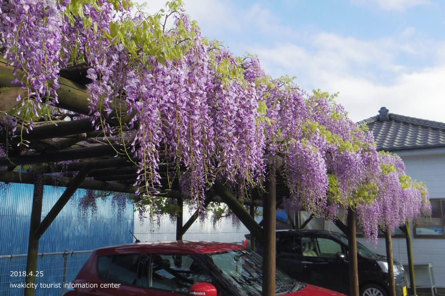 《いわき市花情報》四倉町商工会のフジが開花しました! [平成30年4月20日(水)更新]2