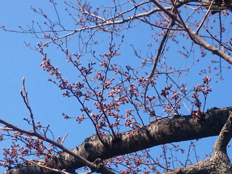 いわき市における桜の開花宣言 [平成30年3月28日(水)更新]3