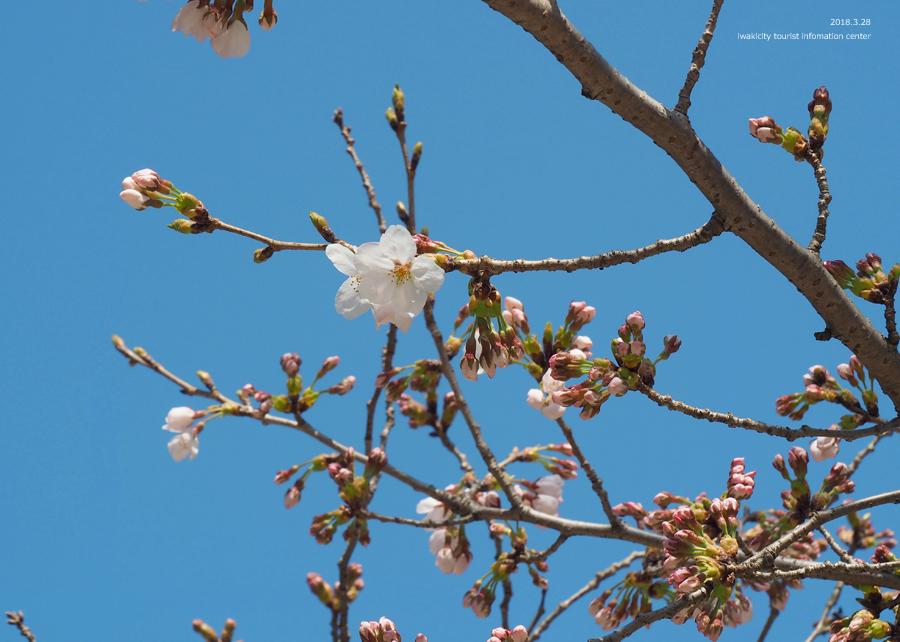 《いわき市桜情報》小川諏訪神社のシダレザクラ 開花しました! [平成30年3月28日(水)更新]3