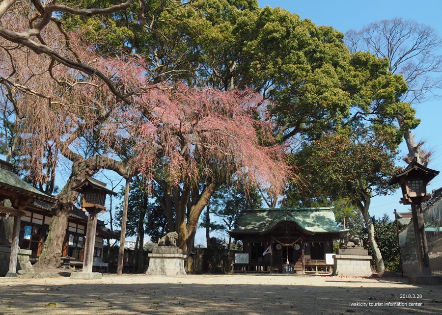 《いわき市桜情報》三島八幡神社のシダレザクラ 咲き始めています! [平成30年3月28日(水)更新]4