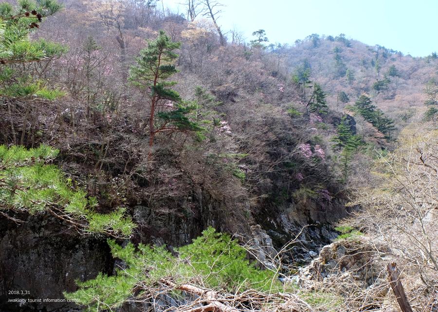夏井川渓谷 アカヤシオが開花しました! [平成30年3月31日(土)更新]3