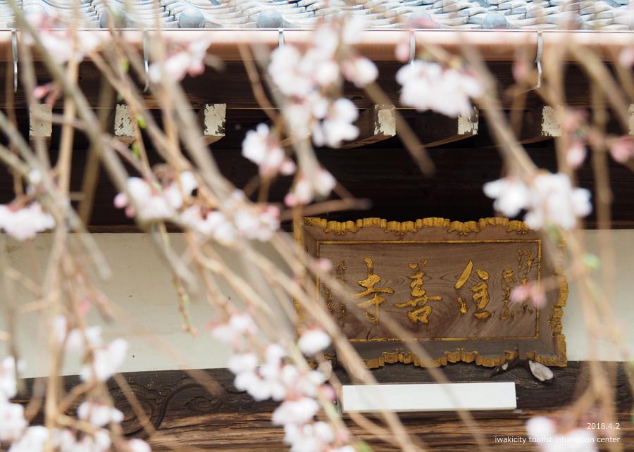 《いわき市桜情報》住善寺のシダレザクラが満開です! [平成30年4月2日(月)更新]3