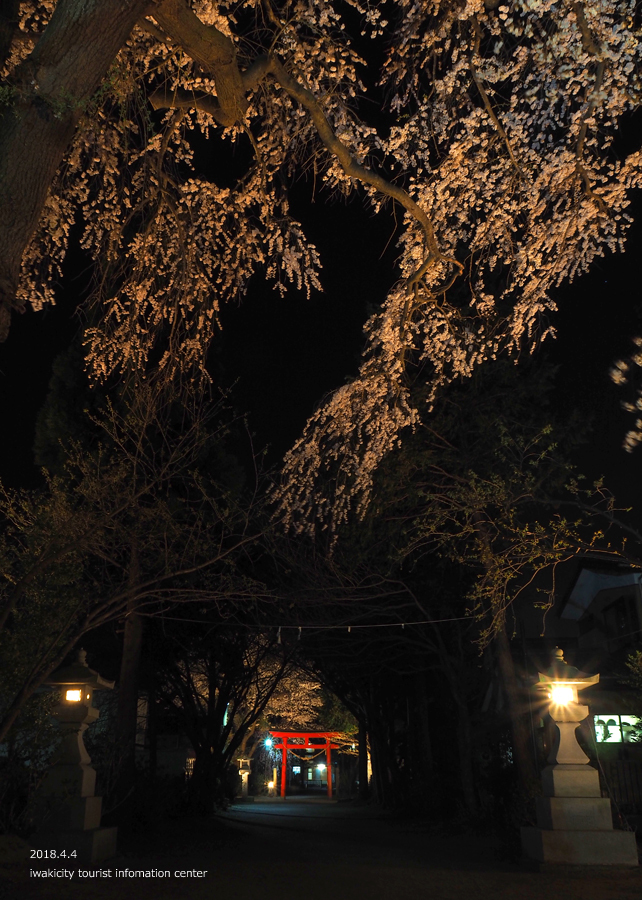 《いわき市桜情報》三島八幡神社のシダレザクラ ライトアップ開催中! [平成30年4月4日(水)更新]3