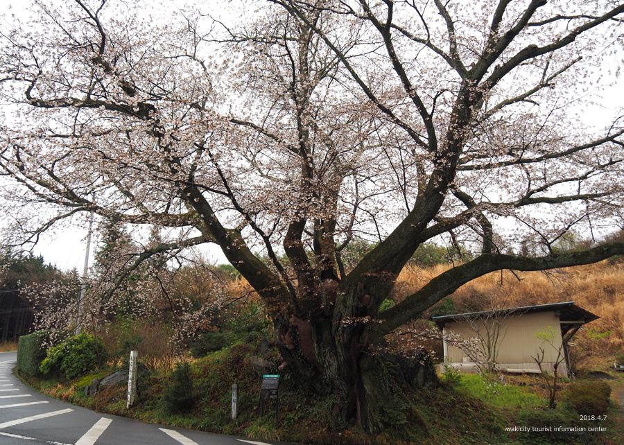《いわき市桜情報》田人の石割桜がほぼ見頃です!! [平成30年4月8日(日)更新]3