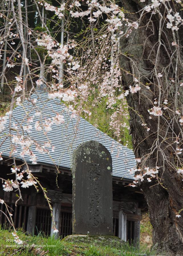 《いわき市桜情報》観音寺のシダレザクラ [平成30年4月8日(日)更新]3