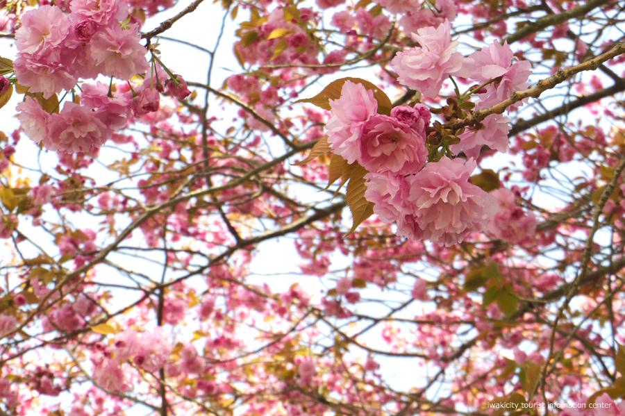 《いわき市桜情報》四倉諏訪神社のボタンザクラとチョウセンボタンが開花しました! [平成30年4月18日(水)更新]3