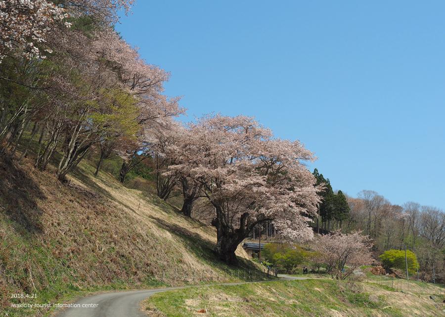 《いわき市桜情報》新田の大山桜が満開です!! [平成30年4月22日(日)更新]3