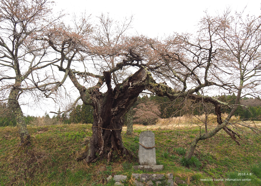 《いわき市桜情報》下三坂の種まきザクラが開花しました! [平成30年4月8日(日)更新]13