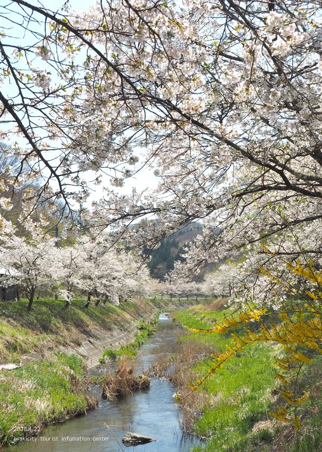 《いわき市桜情報》三阪川のソメイヨシノ [平成30年4月22日(日)更新]3