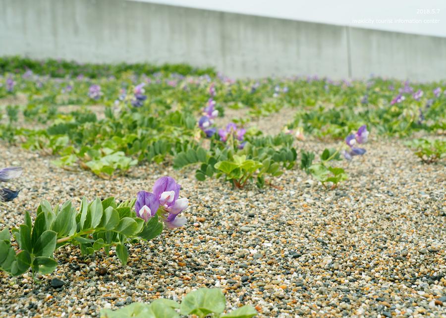 《いわき市花情報》久之浜海岸でハマエンドウ・ハマヒルガオが開花しました♪ [平成30年5月9日(水)更新]5