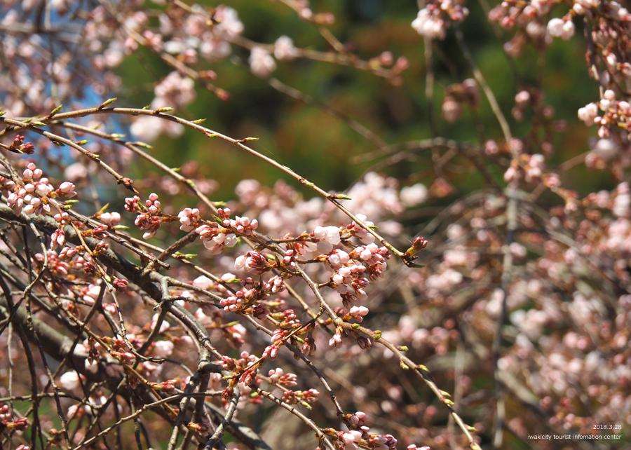 《いわき市桜情報》小川諏訪神社のシダレザクラ 開花しました! [平成30年3月28日(水)更新]13