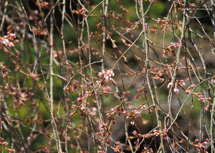《いわき市桜情報》小川諏訪神社のシダレザクラ 開花しました! [平成30年3月28日(水)更新]14