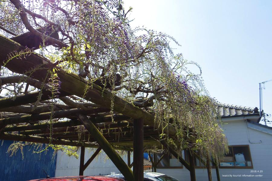 《いわき市花情報》四倉町商工会のフジが開花しました! [平成30年4月20日(水)更新]3