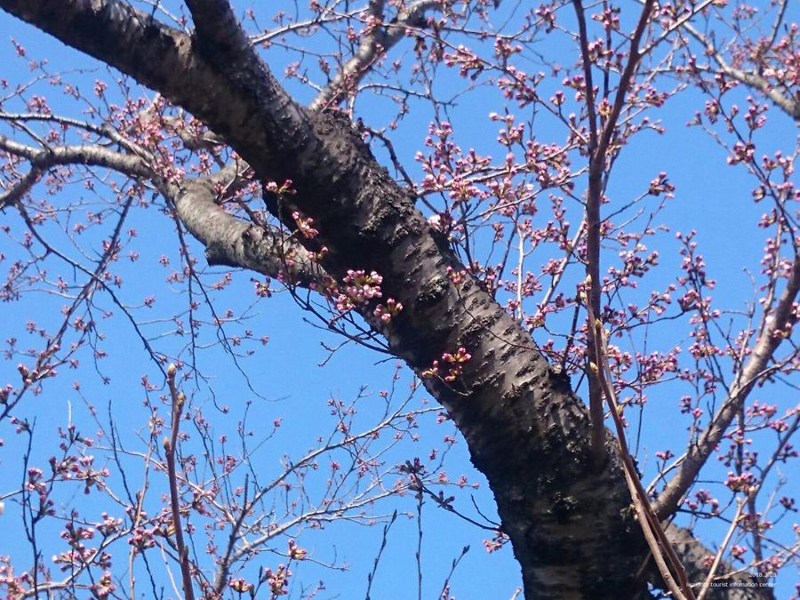 いわき市における桜の開花宣言 [平成30年3月28日(水)更新]4