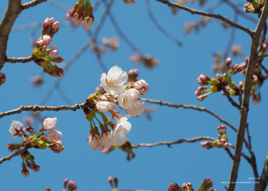 《いわき市桜情報》小川諏訪神社のシダレザクラ 開花しました! [平成30年3月28日(水)更新]4