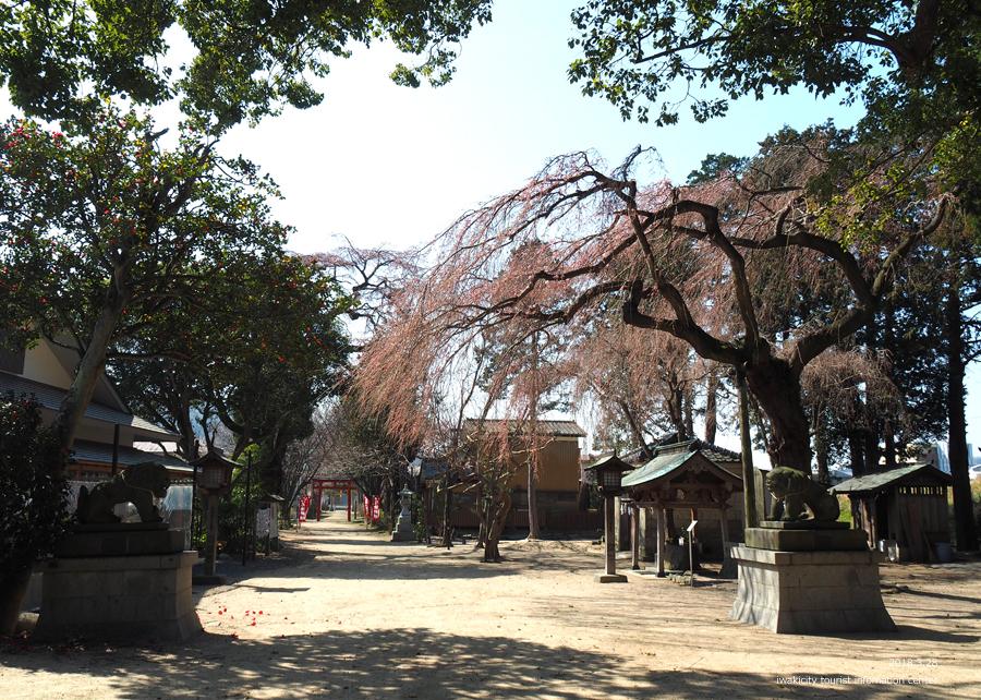 《いわき市桜情報》三島八幡神社のシダレザクラ 咲き始めています! [平成30年3月28日(水)更新]5