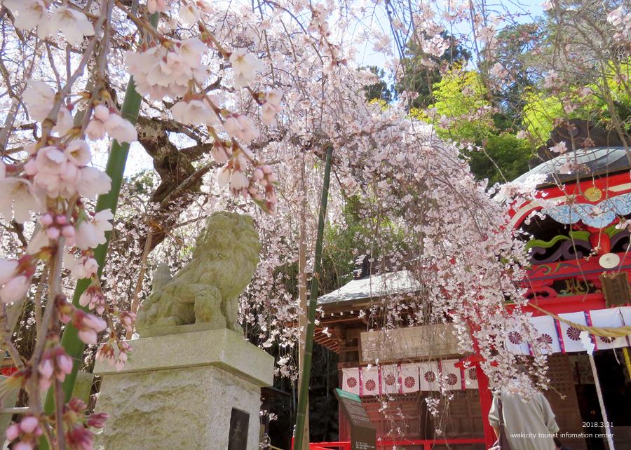 《いわき市桜情報》小川諏訪神社のシダレザクラ 見頃です♪ [平成30年3月31日(土)更新]4