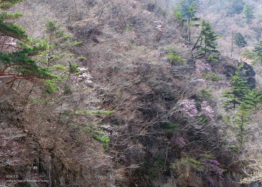 夏井川渓谷 アカヤシオが開花しました! [平成30年3月31日(土)更新]4
