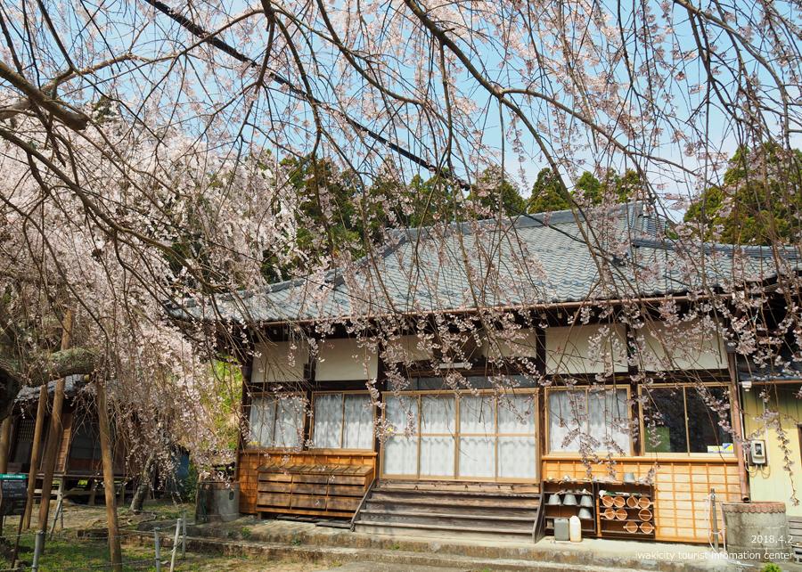 《いわき市桜情報》住善寺のシダレザクラが満開です! [平成30年4月2日(月)更新]4