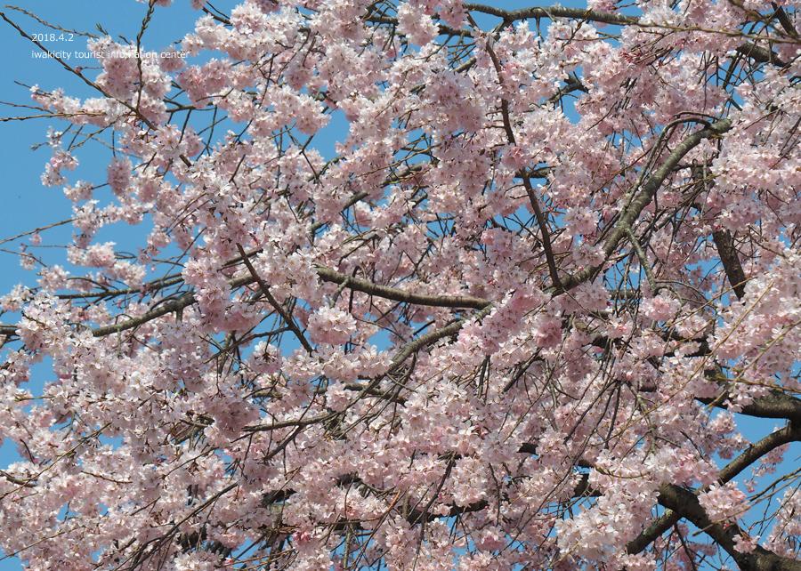 《いわき市桜情報》勝行院のシダレザクラ [平成30年4月2日(月)更新] 5