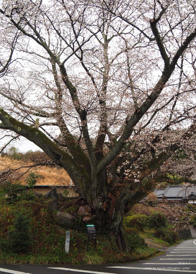 《いわき市桜情報》田人の石割桜がほぼ見頃です!! [平成30年4月8日(日)更新]4