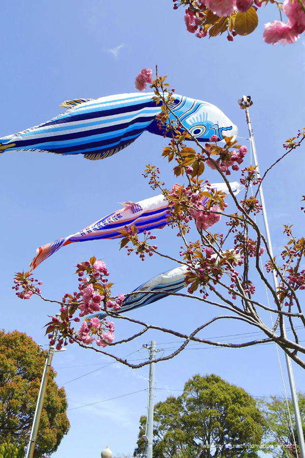 《いわき市桜情報》四倉諏訪神社のボタンザクラとチョウセンボタンが開花しました! [平成30年4月18日(水)更新]4