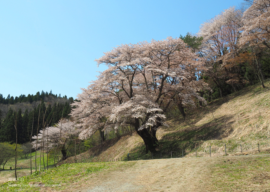 《いわき市桜情報》新田の大山桜が満開です!! [平成30年4月22日(日)更新]4