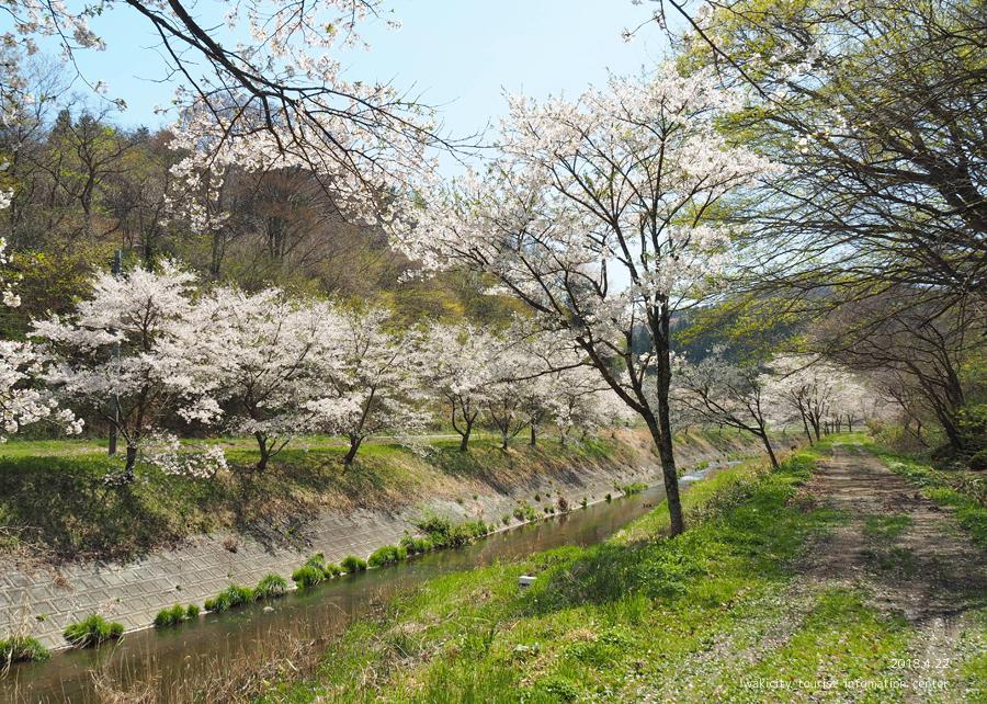 《いわき市桜情報》三阪川のソメイヨシノ [平成30年4月22日(日)更新]4