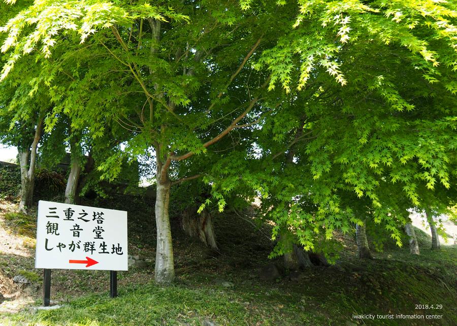 高蔵寺のシャガが見頃です! [平成30年4月30日(月・祝)更新]2