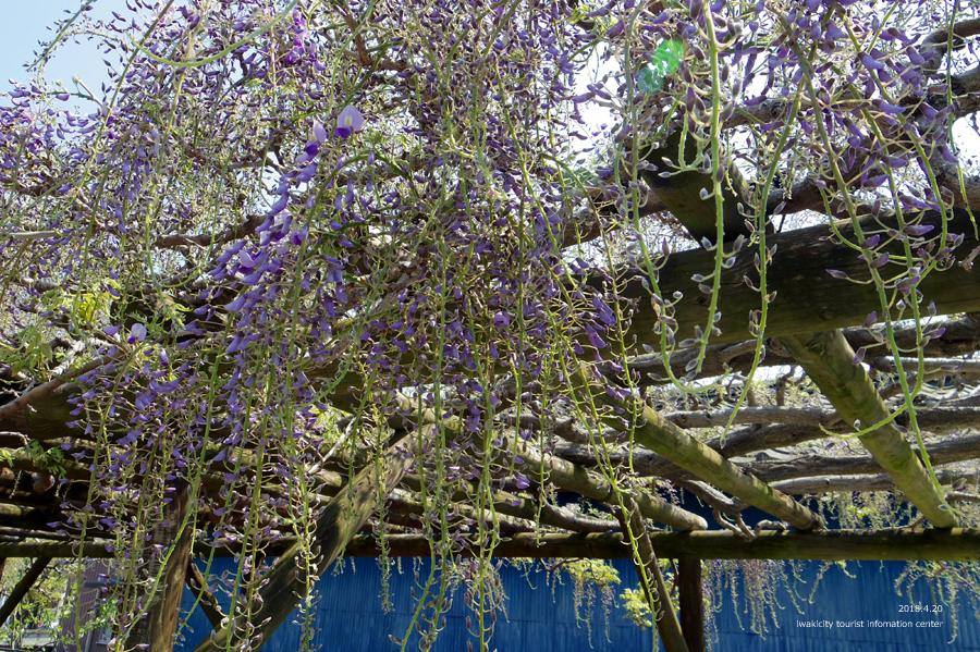 《いわき市花情報》四倉町商工会のフジが開花しました! [平成30年4月20日(水)更新]4