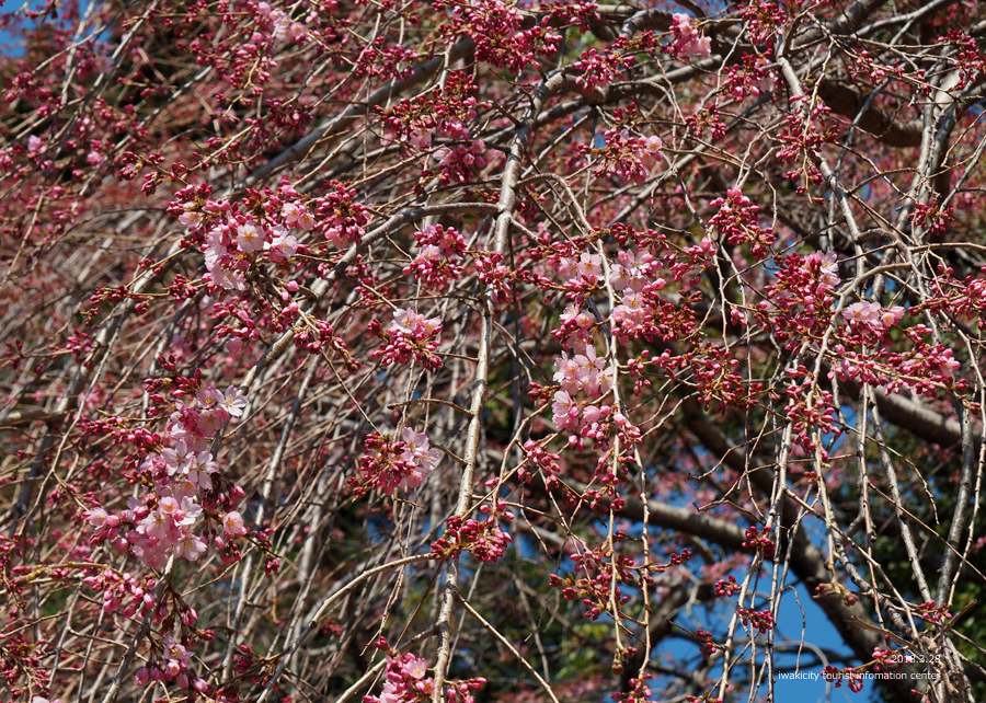 《いわき市桜情報》三島八幡神社のシダレザクラ 咲き始めています! [平成30年3月28日(水)更新]6