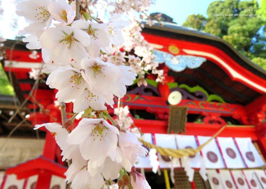《いわき市桜情報》小川諏訪神社のシダレザクラ 見頃です♪ [平成30年3月31日(土)更新]5