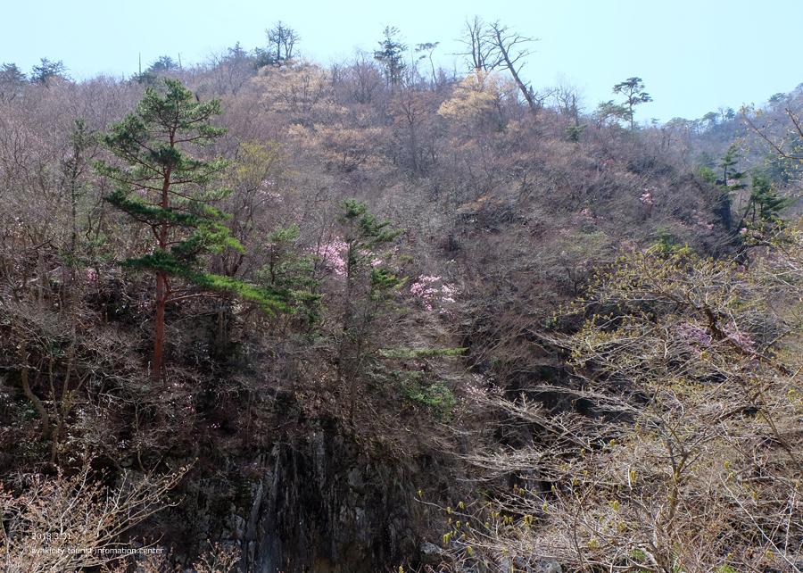 夏井川渓谷 アカヤシオが開花しました! [平成30年3月31日(土)更新]5