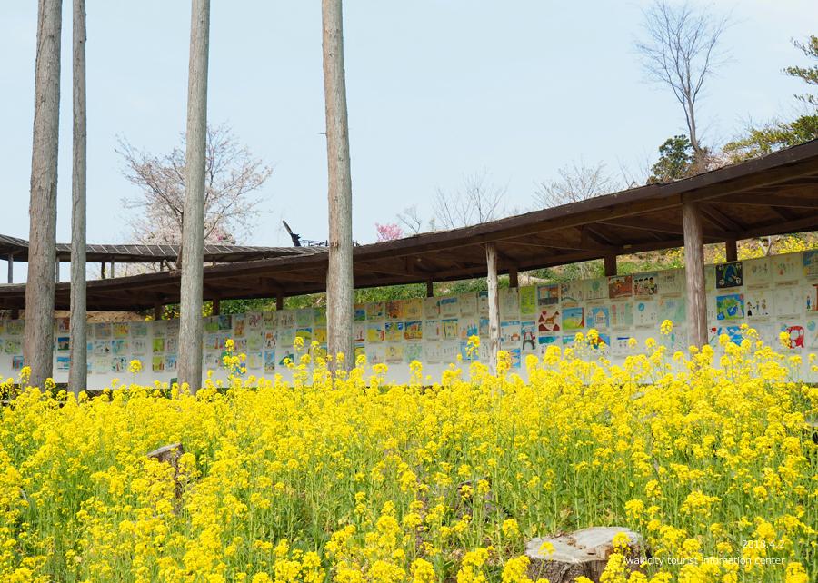 《いわき市桜情報》いわき回廊美術館の桜と菜の花 [平成30年4月2日(月)更新] 5
