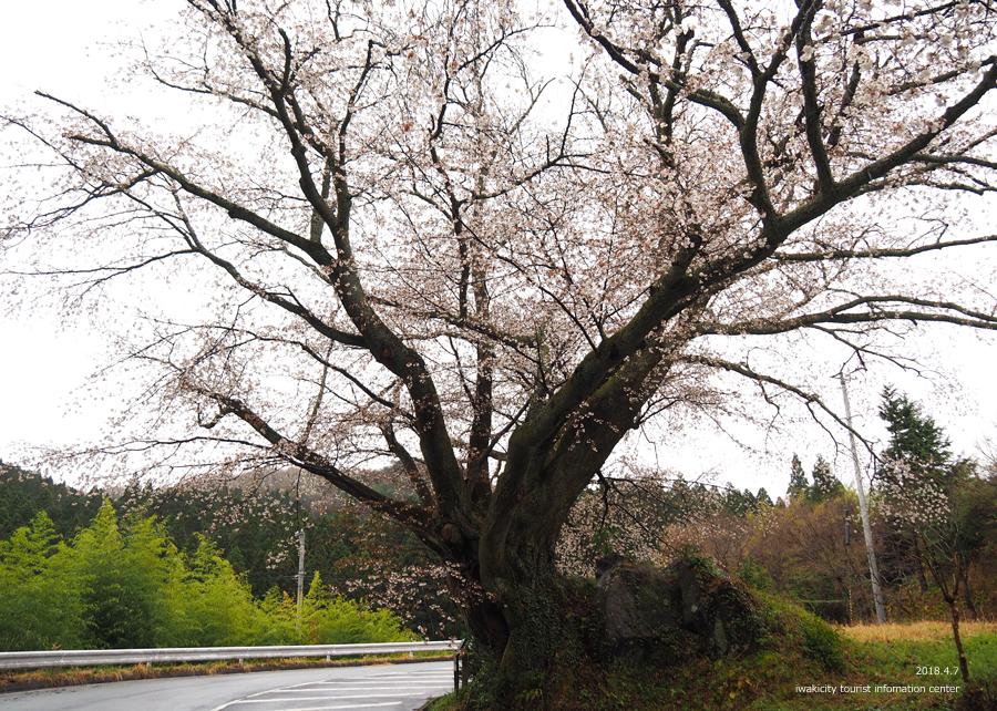 《いわき市桜情報》田人の石割桜がほぼ見頃です!! [平成30年4月8日(日)更新]5