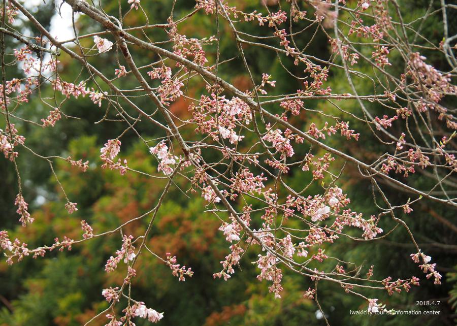 《いわき市桜情報》下三坂の種まきザクラが開花しました! [平成30年4月8日(日)更新]5