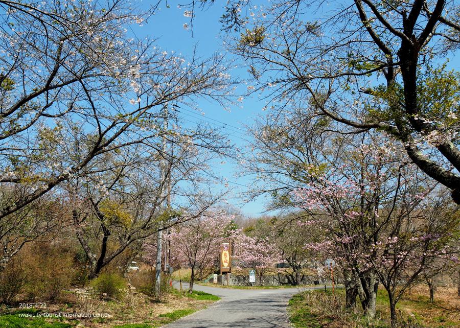《いわき市桜情報》いわきの里鬼ヶ城の桜 [平成30年4月22日(日)更新]5