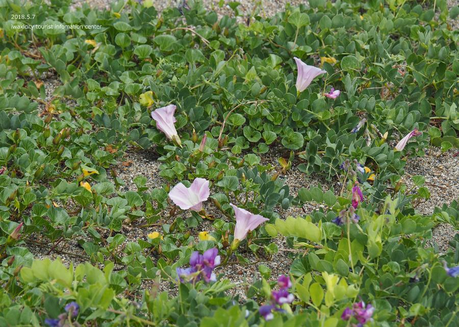 《いわき市花情報》久之浜海岸でハマエンドウ・ハマヒルガオが開花しました♪ [平成30年5月9日(水)更新]7