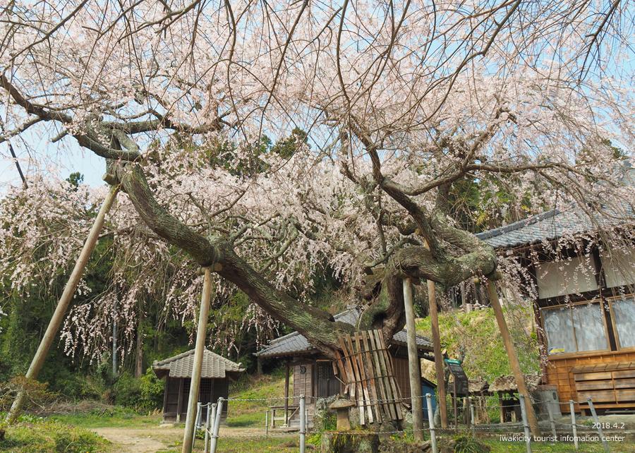 《いわき市桜情報》住善寺のシダレザクラが満開です! [平成30年4月2日(月)更新]5