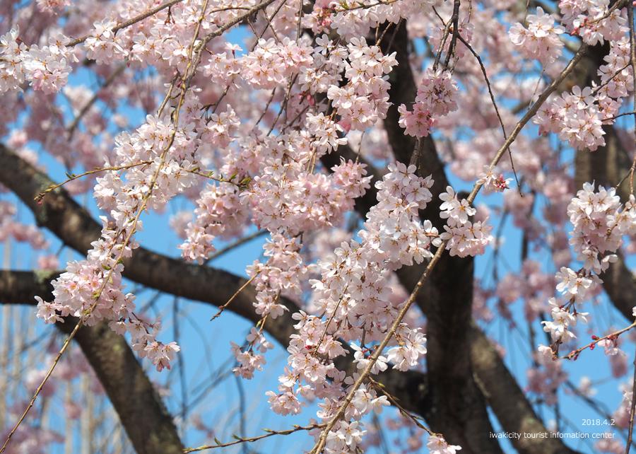 《いわき市桜情報》勝行院のシダレザクラ [平成30年4月2日(月)更新] 6