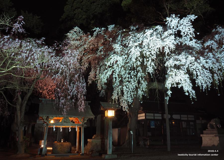 《いわき市桜情報》三島八幡神社のシダレザクラ ライトアップ開催中! [平成30年4月4日(水)更新]5