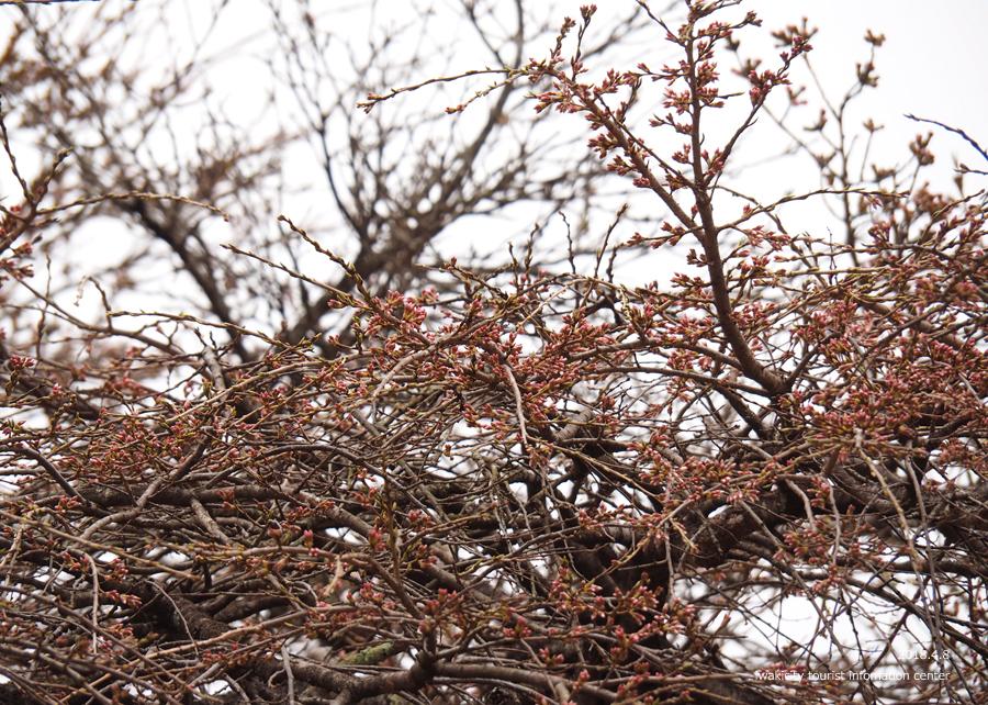 《いわき市桜情報》下三坂の種まきザクラが開花しました! [平成30年4月8日(日)更新]15