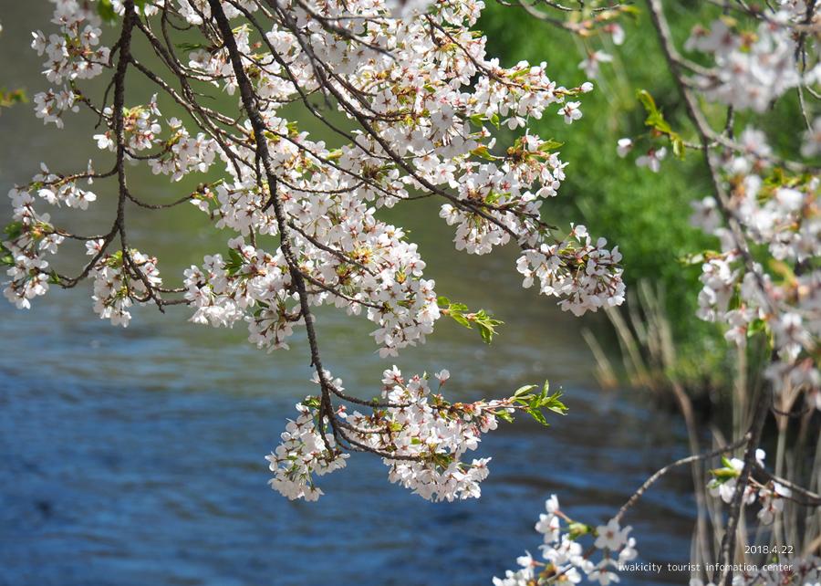《いわき市桜情報》三阪川のソメイヨシノ [平成30年4月22日(日)更新]5