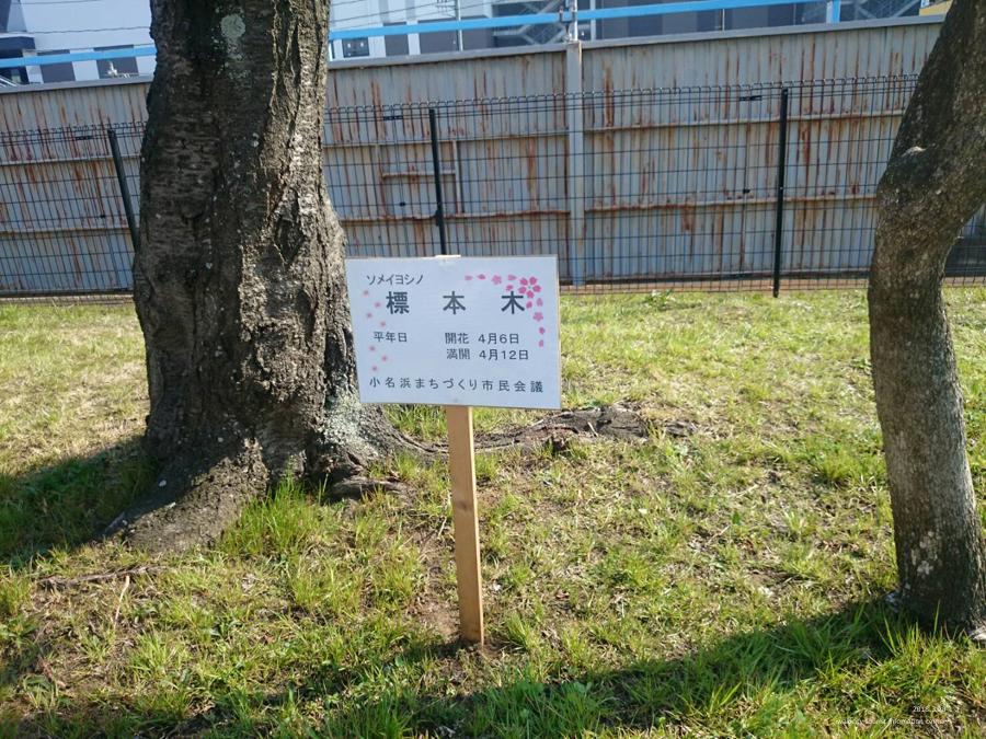 いわき市における桜の開花宣言 [平成30年3月28日(水)更新]6