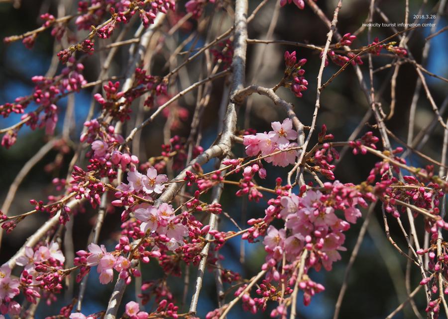 《いわき市桜情報》三島八幡神社のシダレザクラ 咲き始めています! [平成30年3月28日(水)更新]7