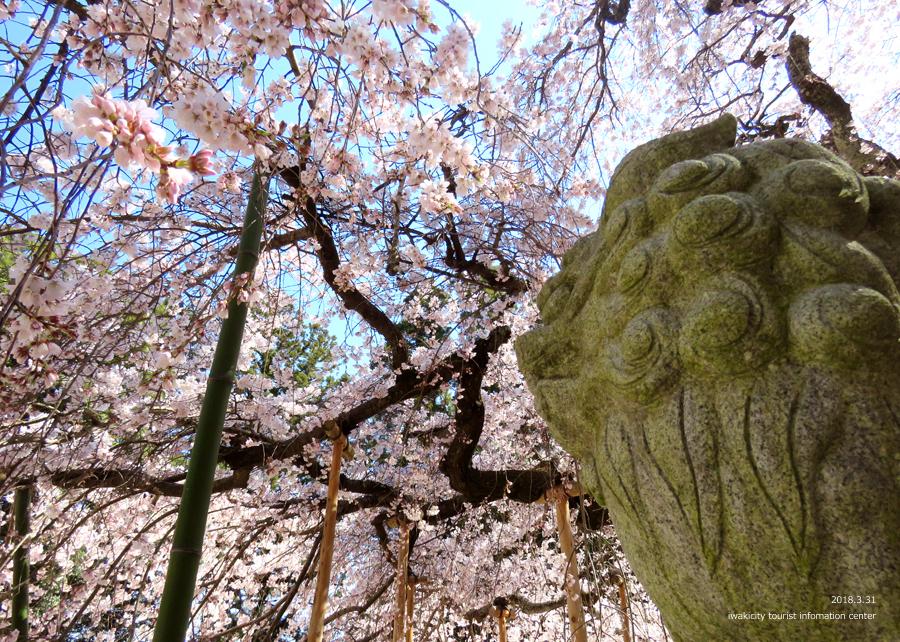 《いわき市桜情報》小川諏訪神社のシダレザクラ 見頃です♪ [平成30年3月31日(土)更新]6