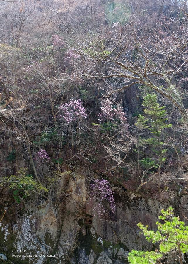 夏井川渓谷 アカヤシオが開花しました! [平成30年3月31日(土)更新]6